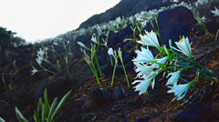 Field of lilies in wind, mountain area, volcanic Stock Footage