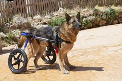 dog wheelchair - stock photo