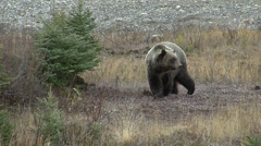 Grizzly Bear Walking in Fall Medium Shot Stock Footage