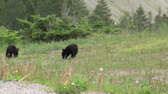 Black Bear Cubs Playing in Spring - stock footage