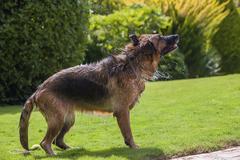 dog shaking - stock photo