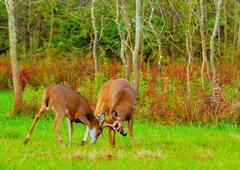 Whitetail deer bucks rut Stock Photos