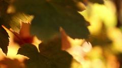 fall, autumn, leaf, leaves, foliage, Seattle, sun - stock footage