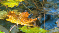 Stock Video Footage of Autumn colored leaf on top of water