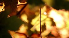 fall, autumn, leaf, leaves, foliage - stock footage
