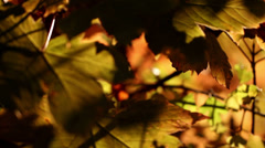 Fall, autumn, leaf, leaves, foliage Stock Footage