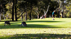 Golfer and kangaroos Stock Footage