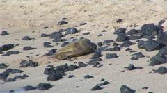Sea Turtle on Rocky Beach Stock Footage