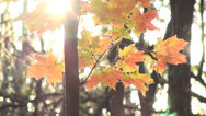 Stock Video Footage of Golden leaves and sun rays