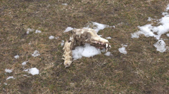 Zoom in bones animal skeleton rot field snow hunt death isolated canine wildlife Stock Footage