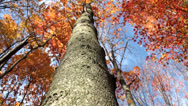 Stock Video Footage of Tree with reddish leaves 2