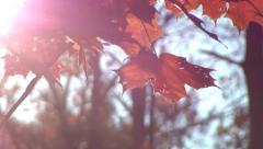 Stock Video Footage of Reddish leaves