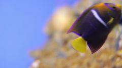 Juvenile passerangelfish Holacanthus passer angel fish Stock Footage