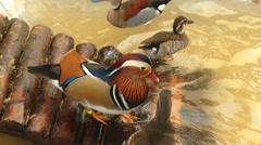 Mandarin duck Stock Footage