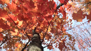 Stock Video Footage of Tree with reddish leaves