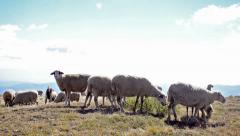 Sheep in a mountain top field - stock video Stock Footage