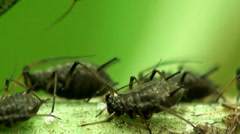 Macro female aphids - stock footage