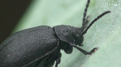 Black beetle Stock Footage