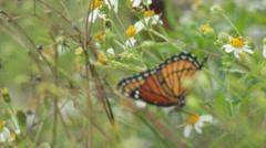 Monarch Butterfly in field handheld - stock footage