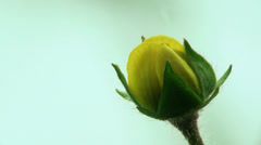 Unblown yellow flower Stock Footage