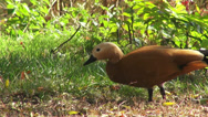 Stock Video Footage of Female Ruddy Shel duck, cute duck eating grass, exotic flying bird, migratory