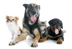 dogs and kitten - stock photo