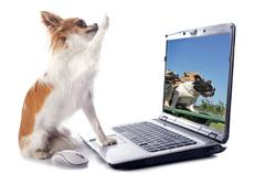 chihuahua and computer - stock photo