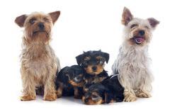 family yorkshire terrier - stock photo