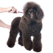 brown poodle and comb - stock photo