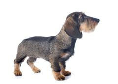 puppy wire haired dachshund - stock photo