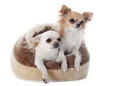 Chihuahua koira sängyssä Kuvituskuvat