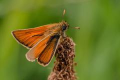 venata moth - stock photo