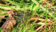 Stock Video Footage of Southern Hawker - Aeshna cyanea