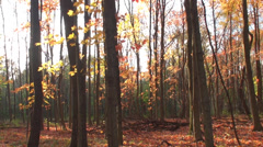 Smooth pan of golden trees 2 Stock Footage