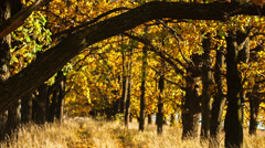 Golden colors of autumn. RAW Stock Footage