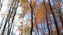 Smooth pan of golden tree tops Stock Footage