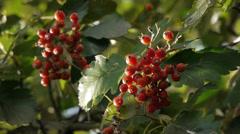 Red Autumn berries on Oak tree Stock Footage