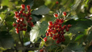 Stock Video Footage of Red Autumn berries on Oak tree