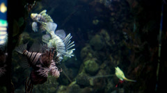Lionfish in the aquarium HD Stock Footage