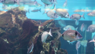Stock Video Footage of Silver big fish in aquarium HD