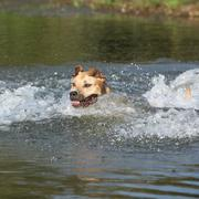 american staffordshire terrier swimming - stock photo
