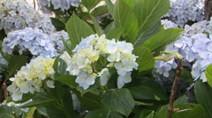 Hydrangeas Stock Footage