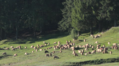 Herd of Sheeps grazing near to the mountain lake Stock Footage