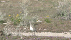 willet - stock footage