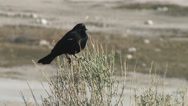 Stock Video Footage of Red-winged blackbird