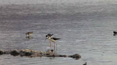 Black-winged Stilts feeding Stock Footage