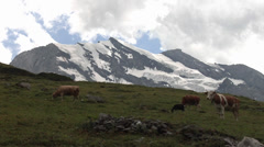 Cows on pasture in the Swiss Alps - stock footage