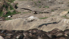 A vulture overflying dead wildebeests 2 Stock Footage