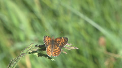 Sagebrush checkerspot butterfly - stock footage