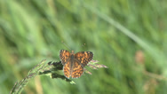 Stock Video Footage of Sagebrush checkerspot butterfly